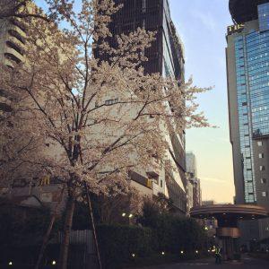 Japan Akasaka Tokyo Minato sakura